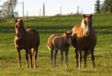 Suomenhevosia laitumellaan Einolan tilalla. Einolan tila on maatila ja maatilamatkailukohde Pirkanmaalla.